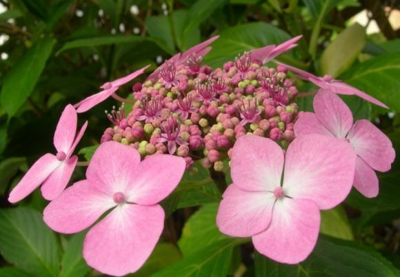 hortensia rose (800x555)
