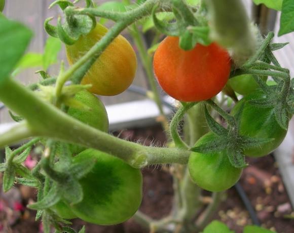 tomates cerises (800x635)