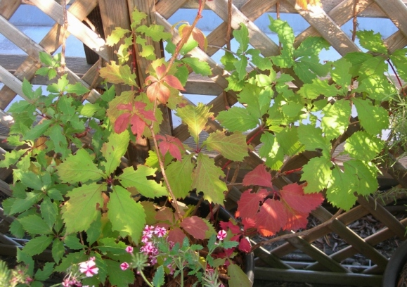 vigne-vierge